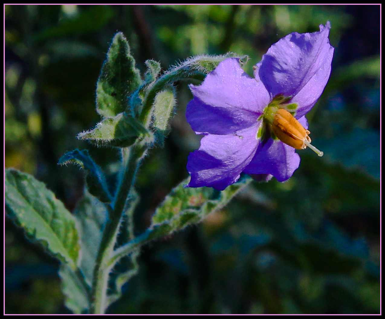 Plant Of The Month Purple Nightshade