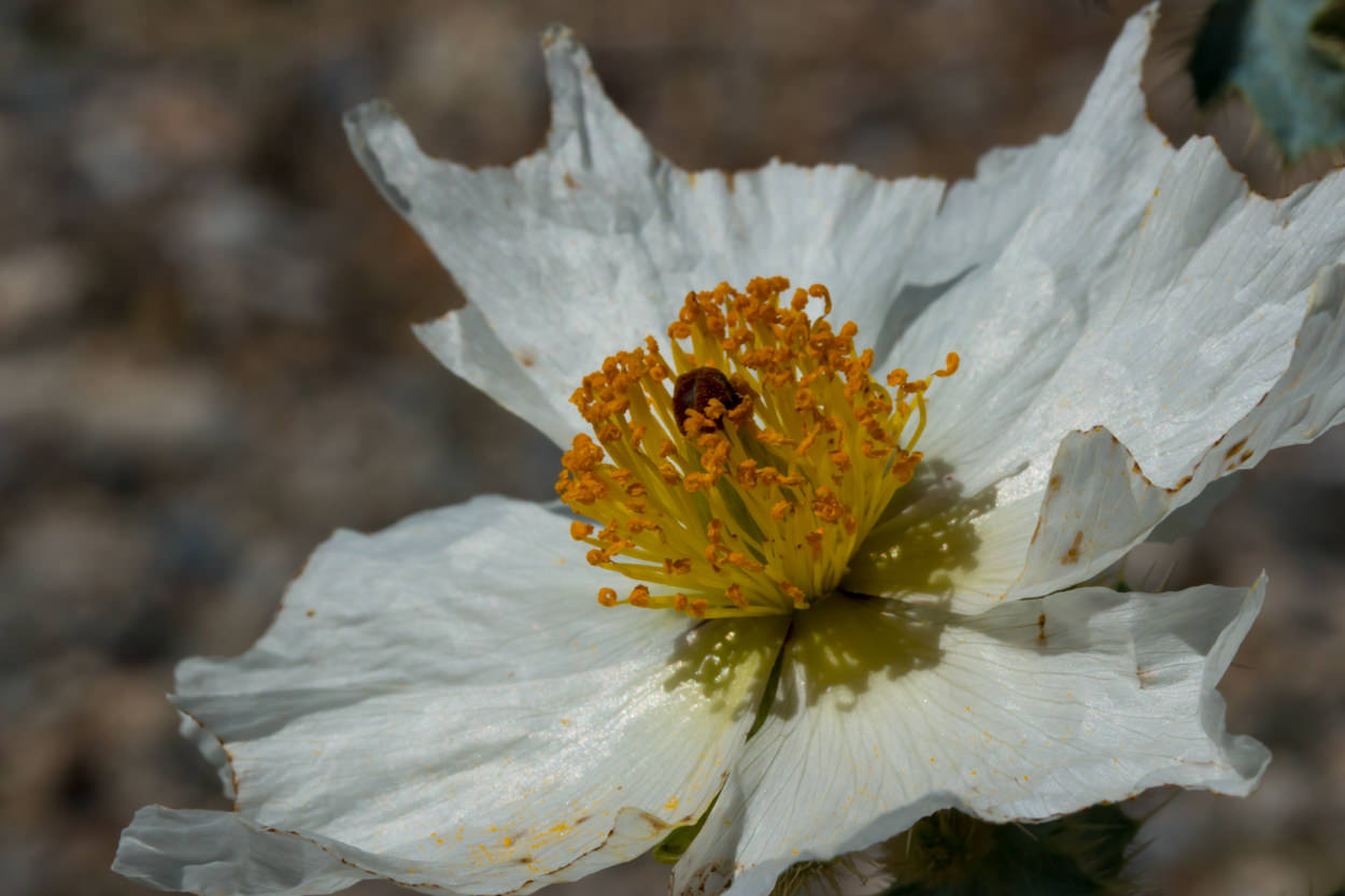 Plant Of The Month Prickly Poppy