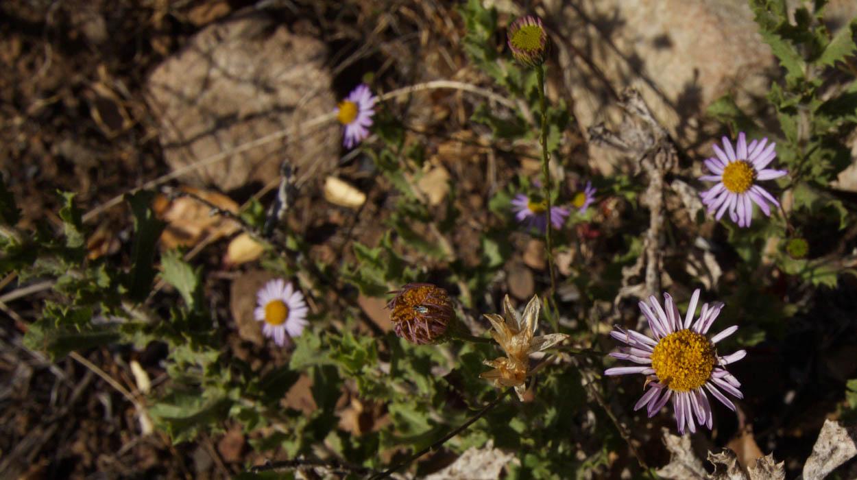 Plant of the month california aster image of california aster emcorethrogyne filaginifoliaem izmirmasajfo