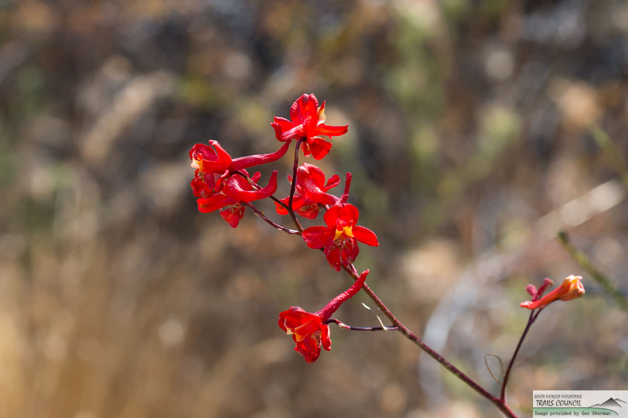 Plant of the Month - Scarlet Larkspur
