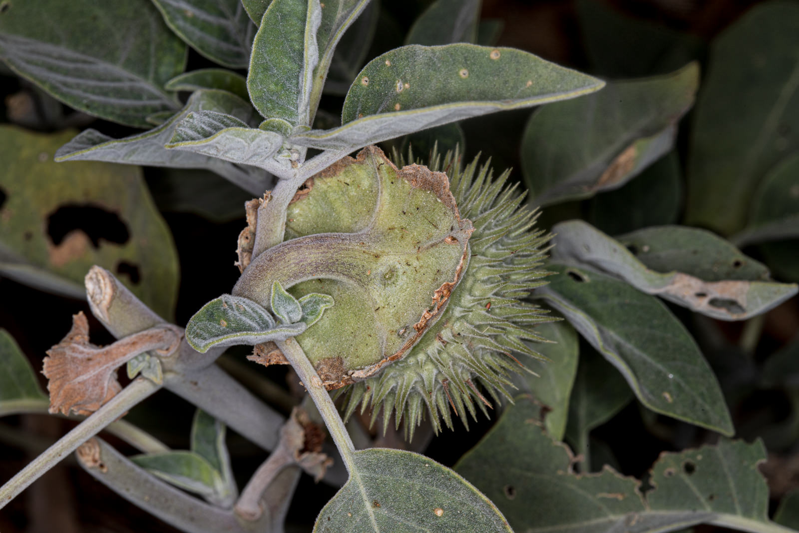 Image of Datura - <em>Datura species</em>