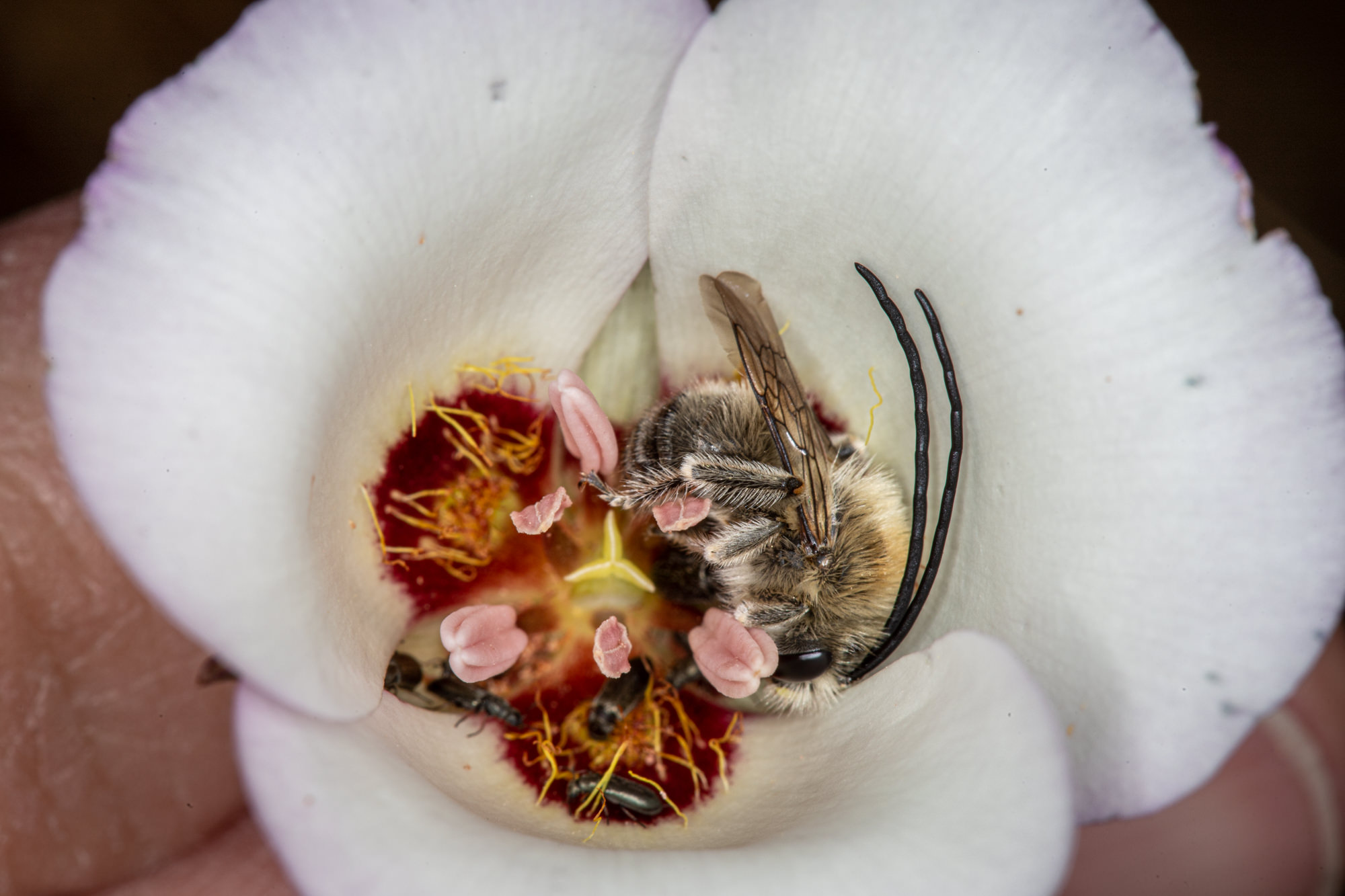 Image of Mariposa Lily - <em>Calochortus species</em>