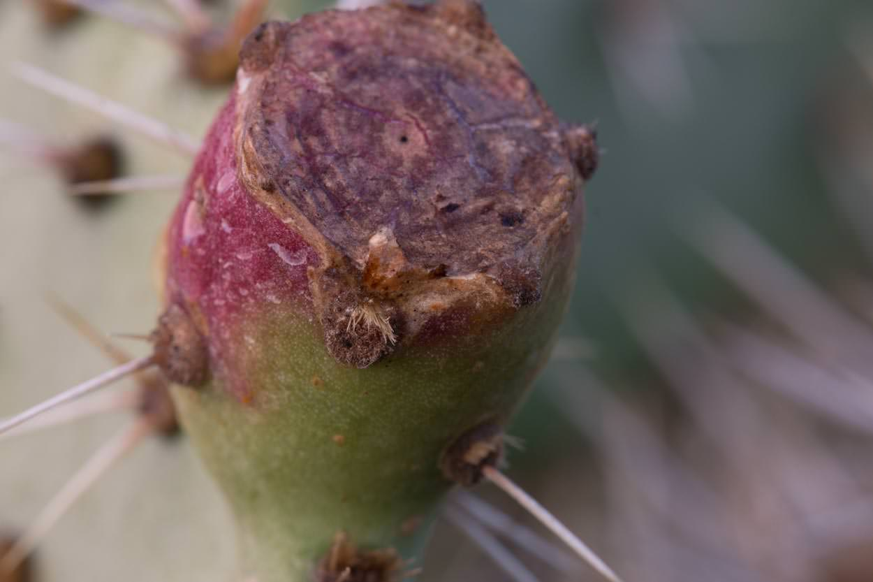 Image of Prickly Pear - <em>Opuntia oricola</em>