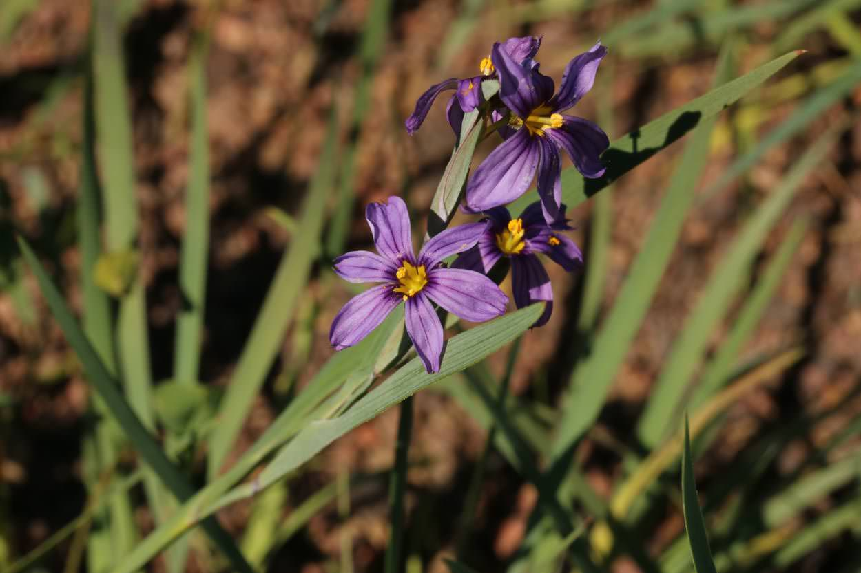 Plant of the month blue eyed grass image of blue eyed grass emsisyrinchium bellumem izmirmasajfo
