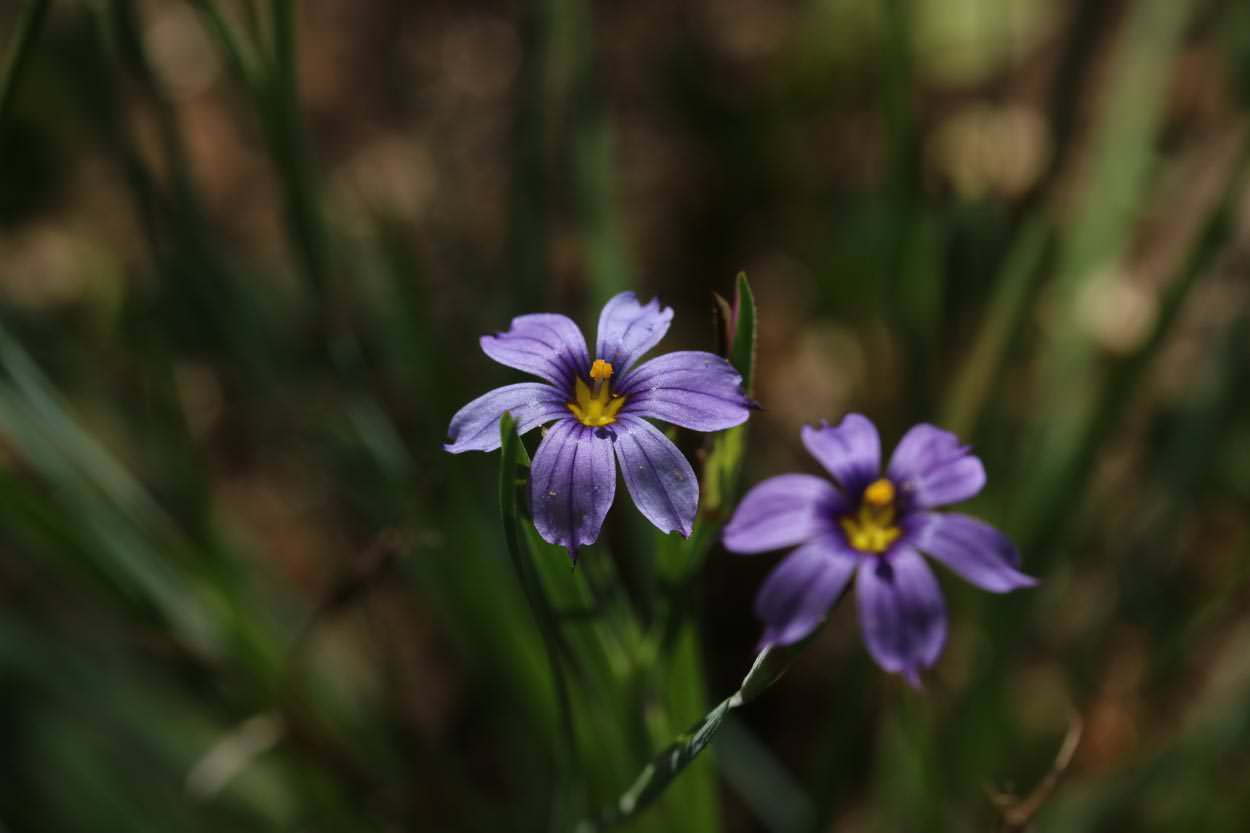 Image of Blue-Eyed Grass - <em>Sisyrinchium bellum</em>