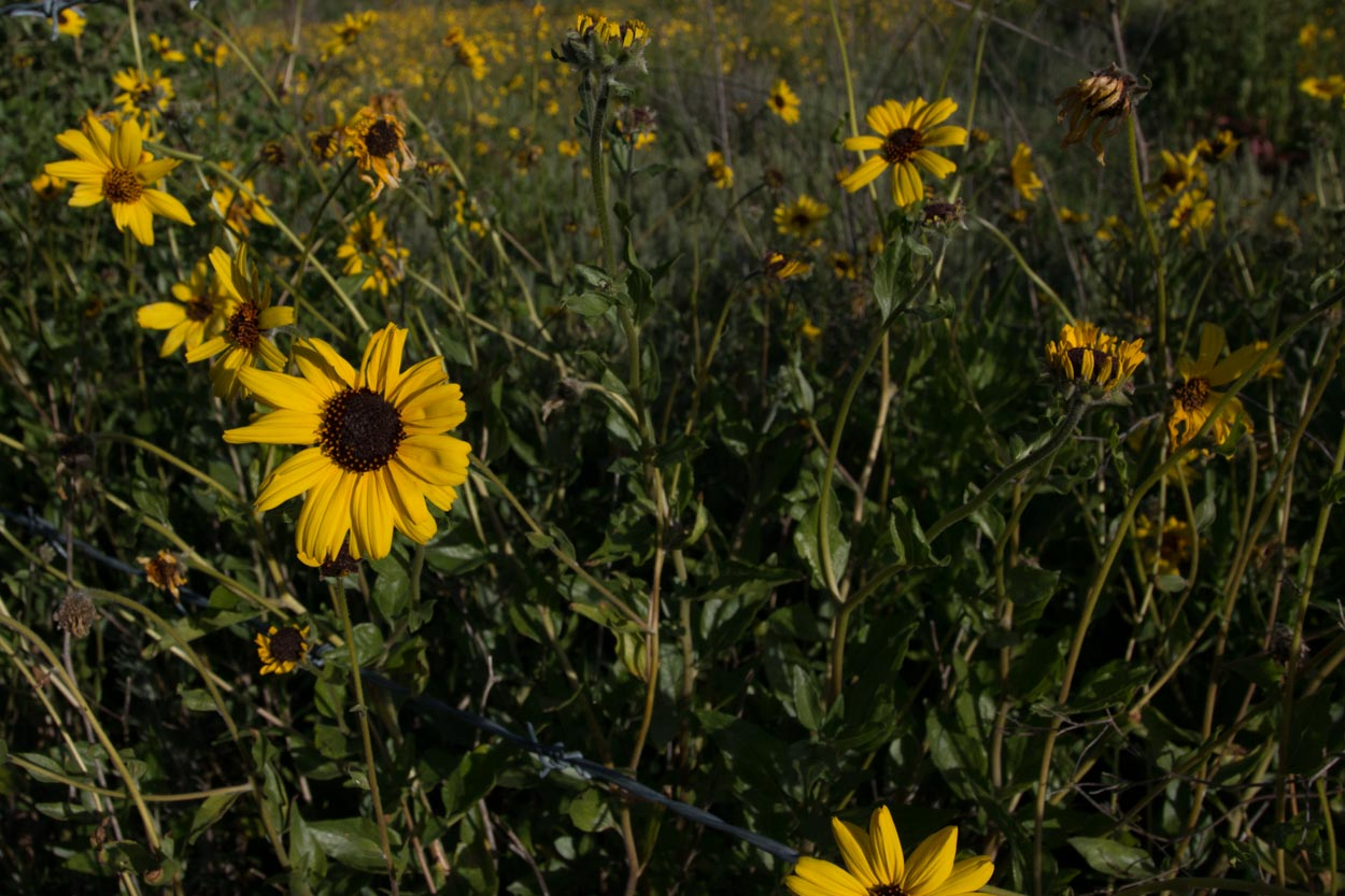 Plant Of The Month Bush Sunflower