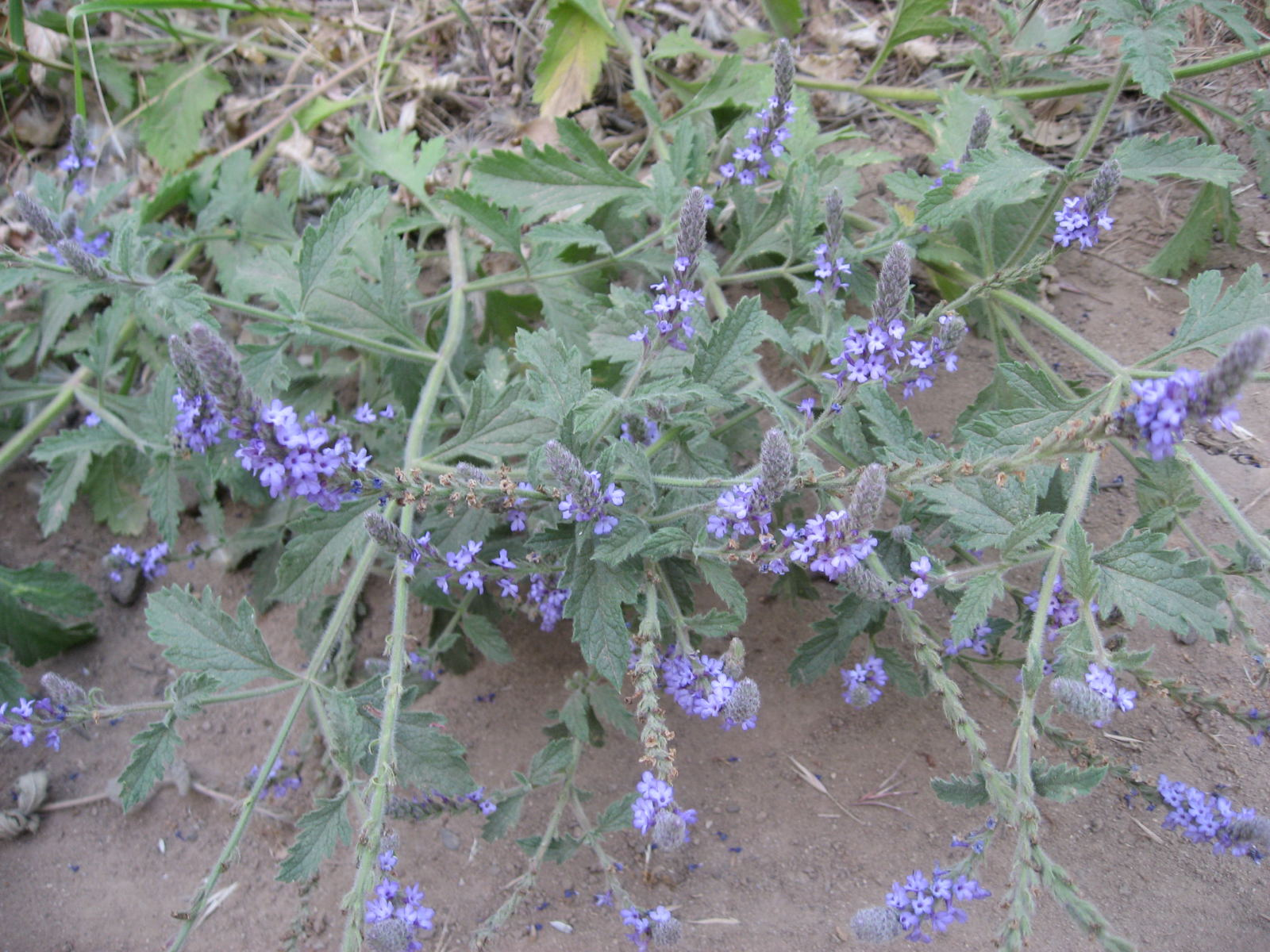 Image of Common Vervain - <em>Verbena lasiostachys</em>