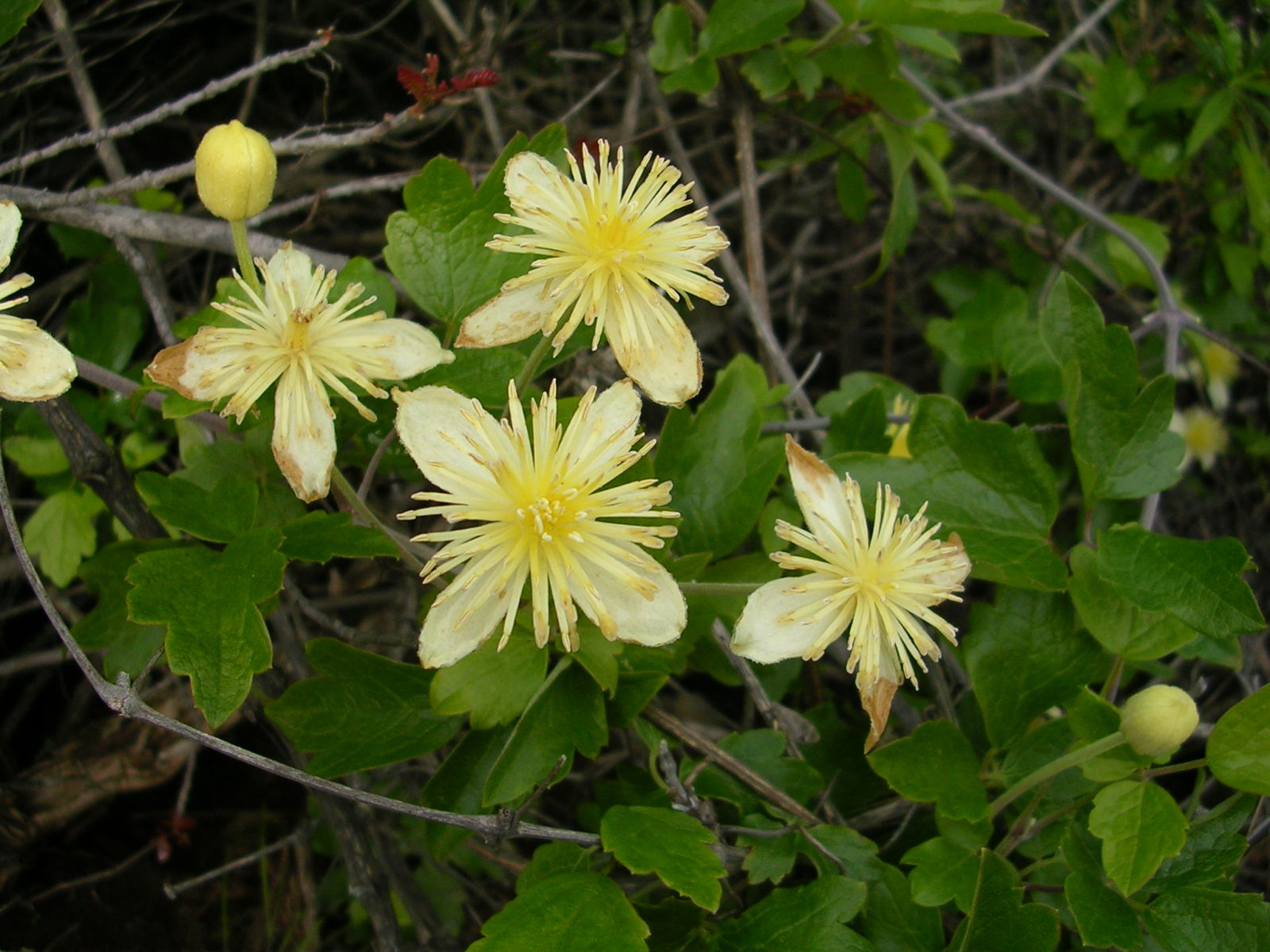 "... Image of Virgin's Bower - <em>Clematis lasiantha</em> …""/></a><br /><span id="