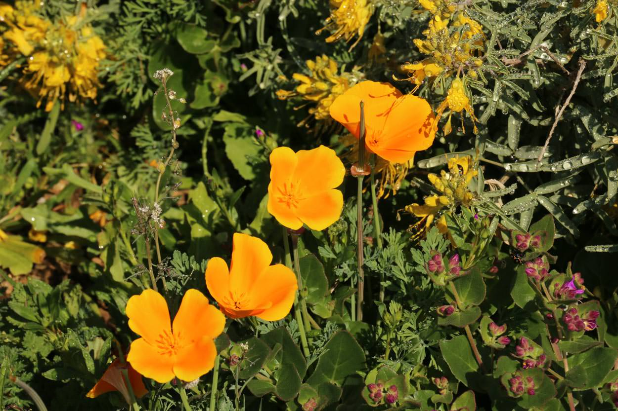 Plant Of The Month California Poppy
