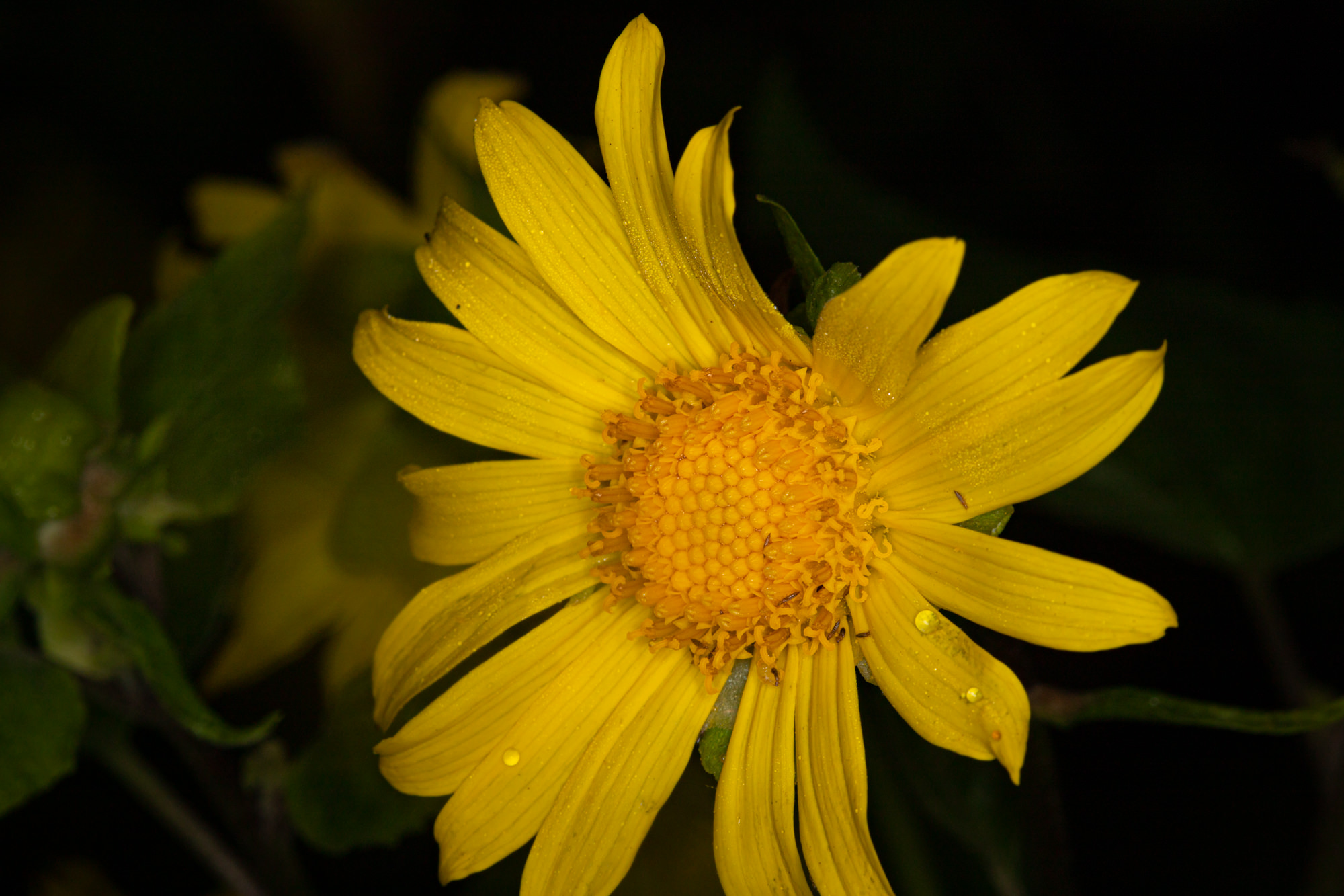 Image of Canyon Sunflower - <em>Venegasia carpesioides</em>