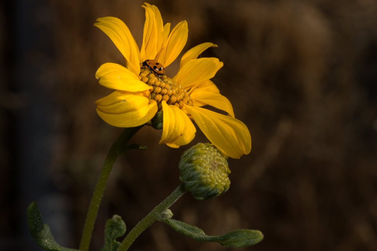 Image of Slender Sunflower - <em>Helianthus gracilentus </em>