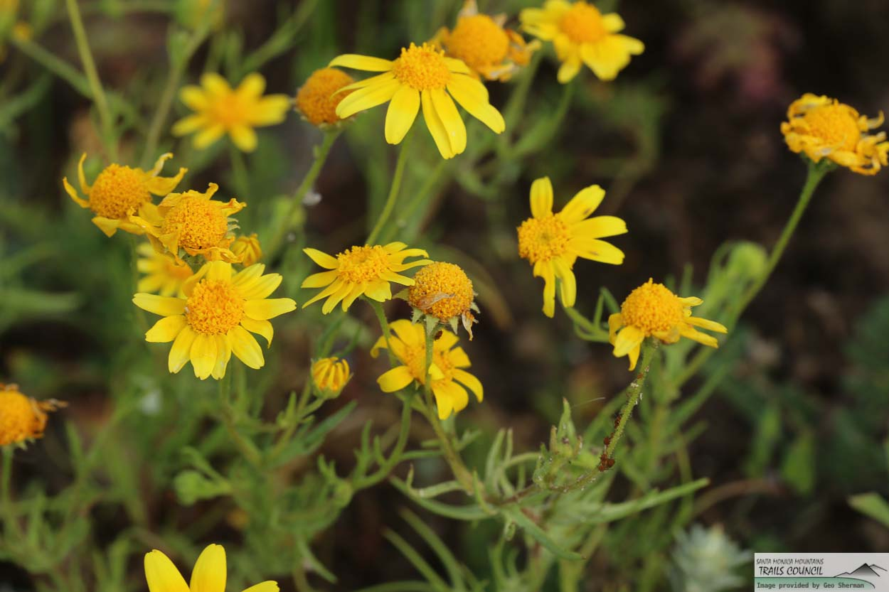 Plant Of The Month California Goldfields