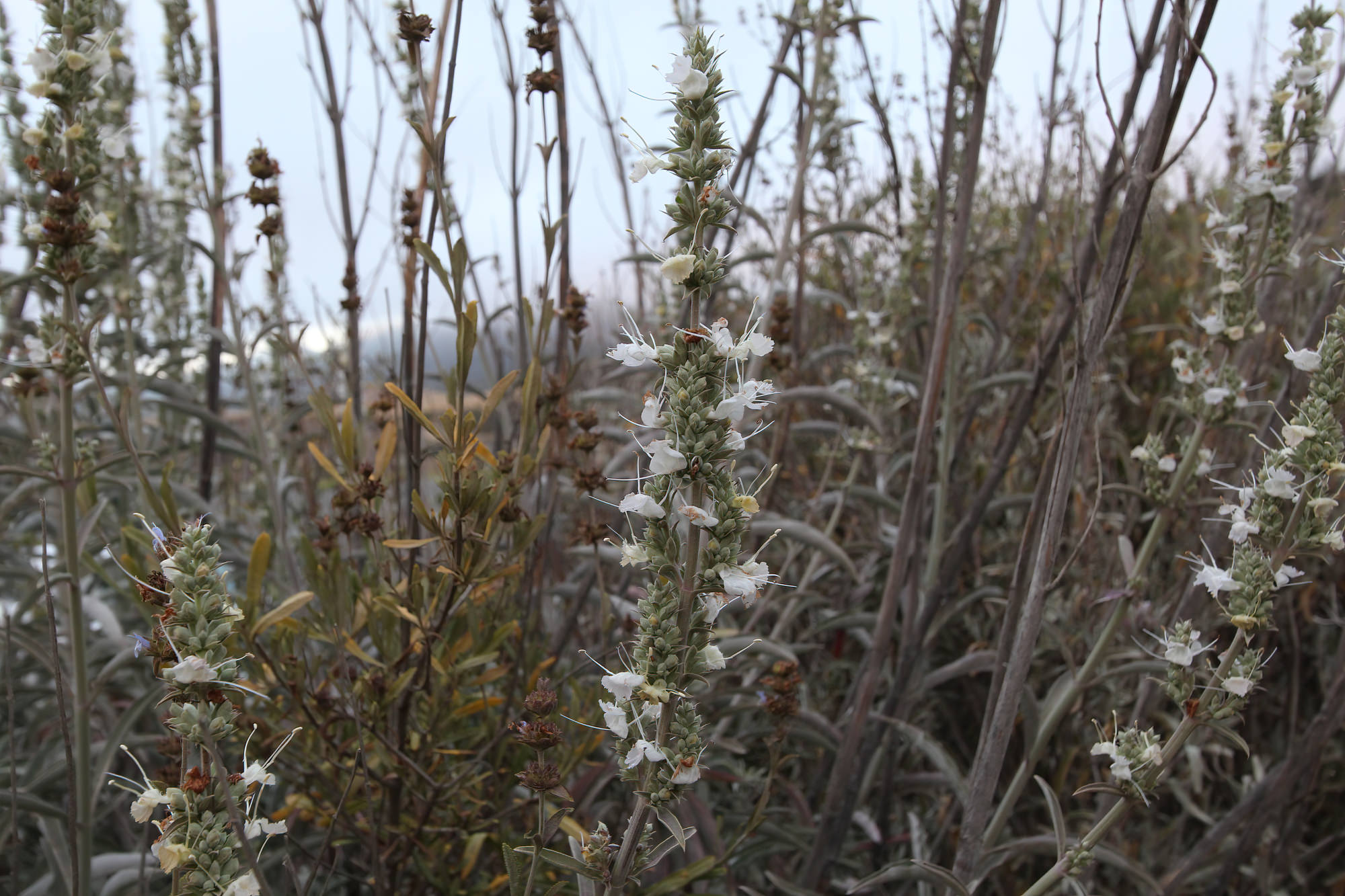 Plant Of The Month White Sage