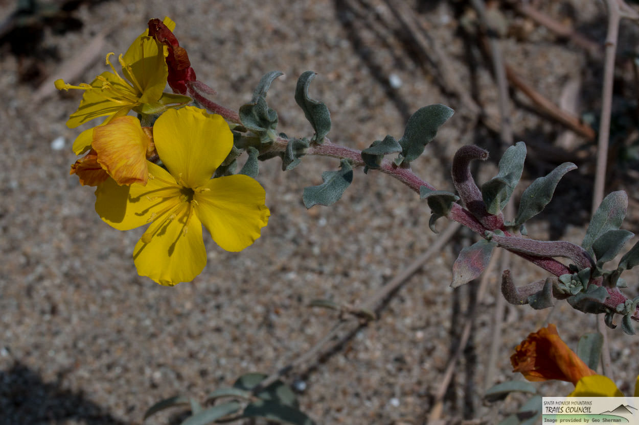 Image of Beach Evening Primrose - <em>Camissoniopsis cheiranthifolia</em>