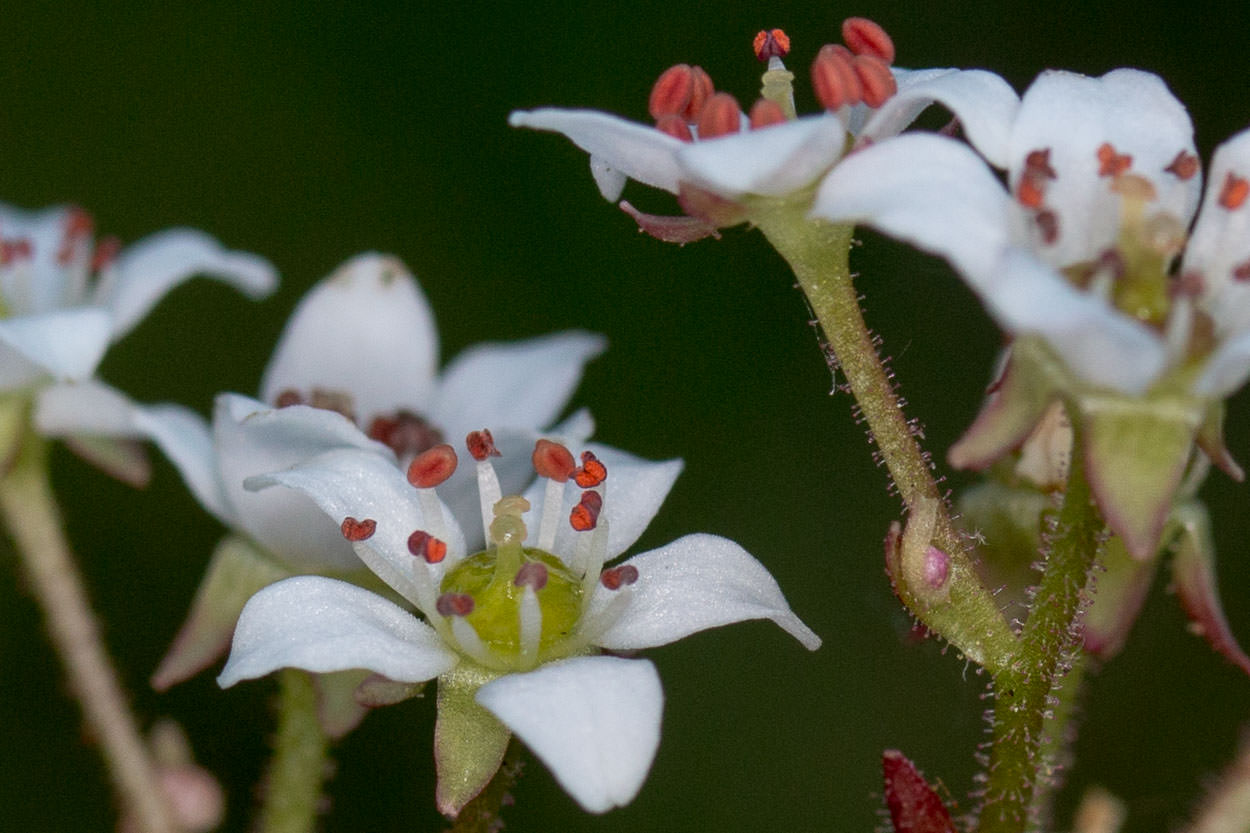 Image of California Saxifrage - <em>Micranthes californica</em>