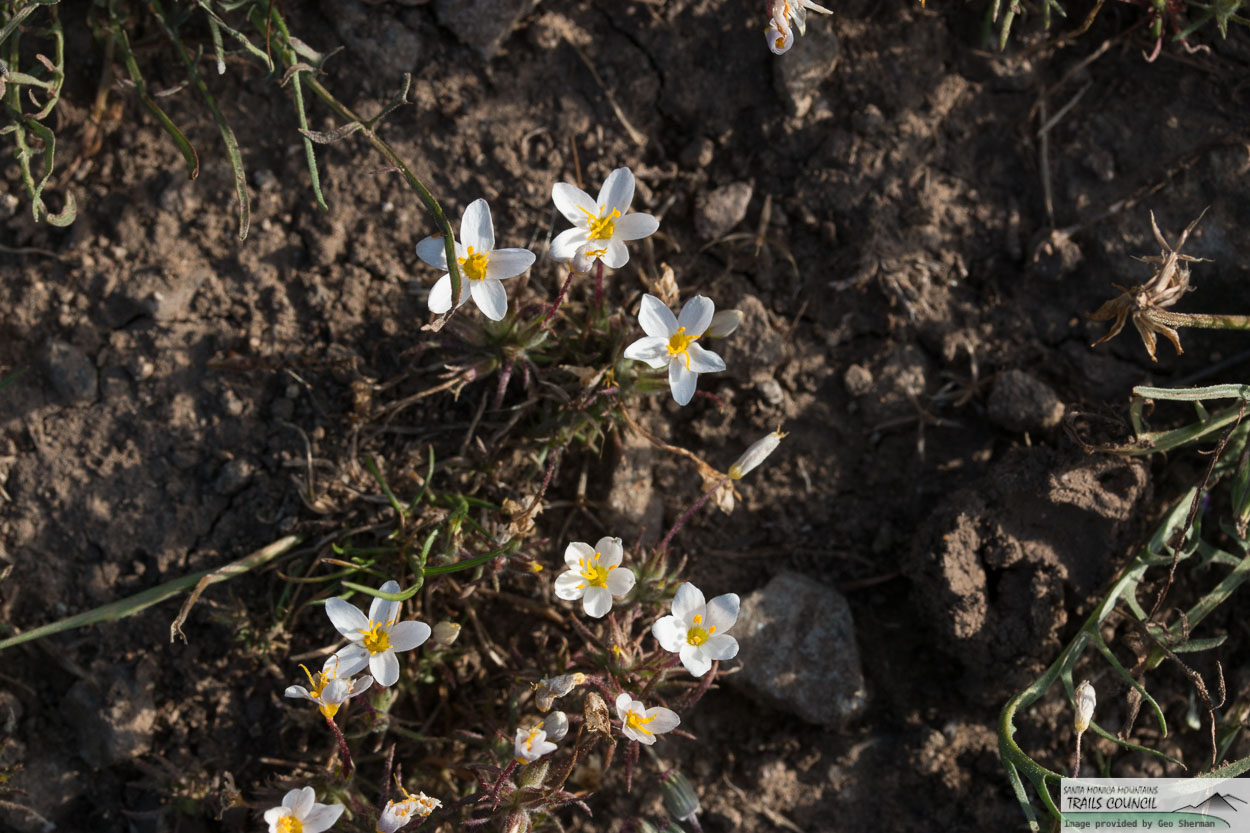 Image of Variable Linanthus - <em>Leptosiphon parviflorus</em>