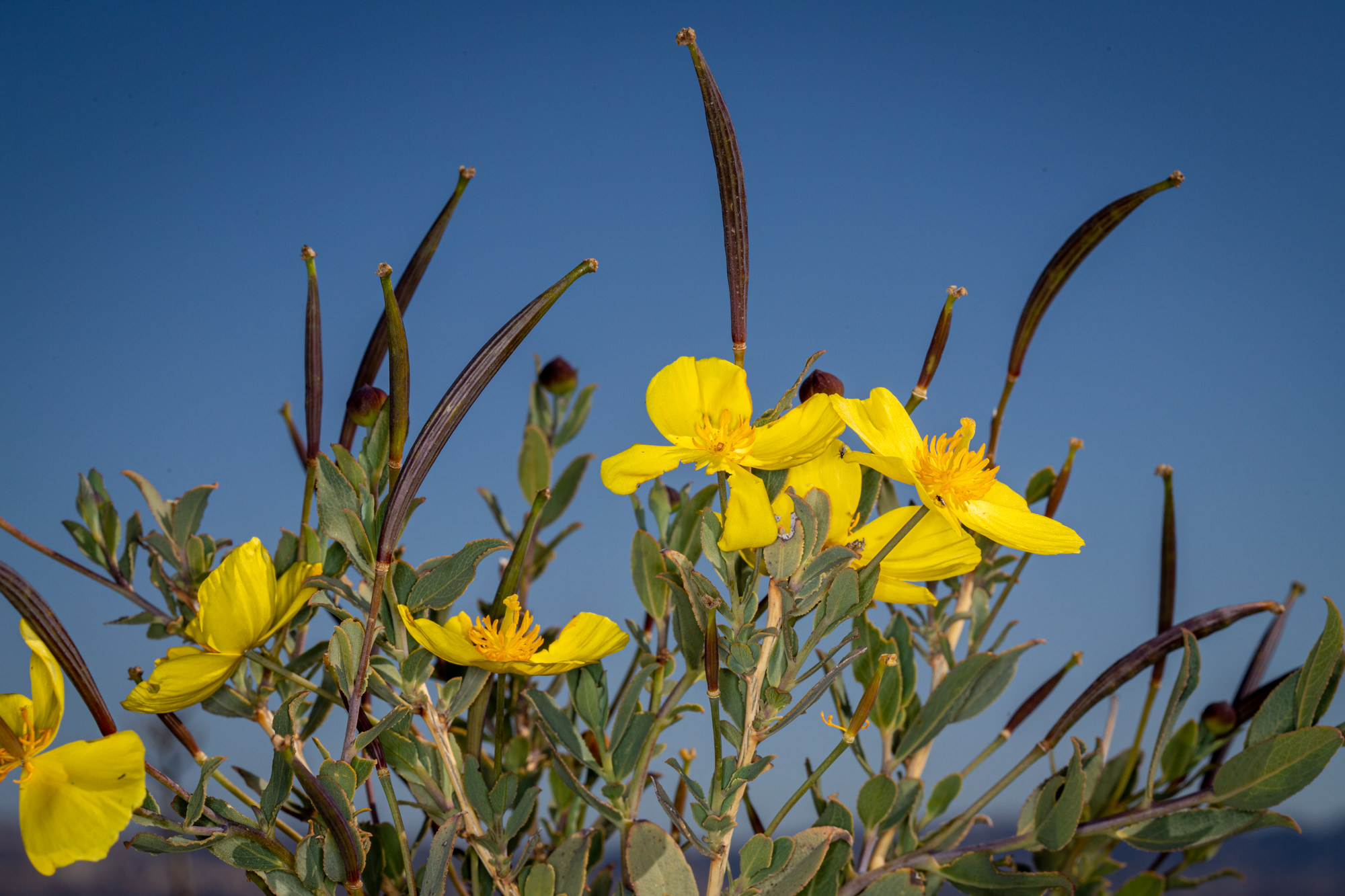 Image of Bush Poppy, Tree Poppy - <em>Dendromecon rigida</em>