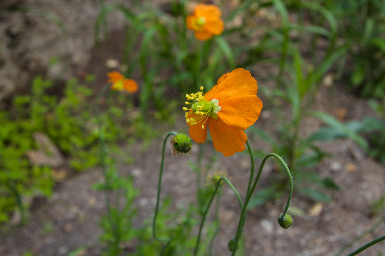 Plant Of The Month Fire Poppy