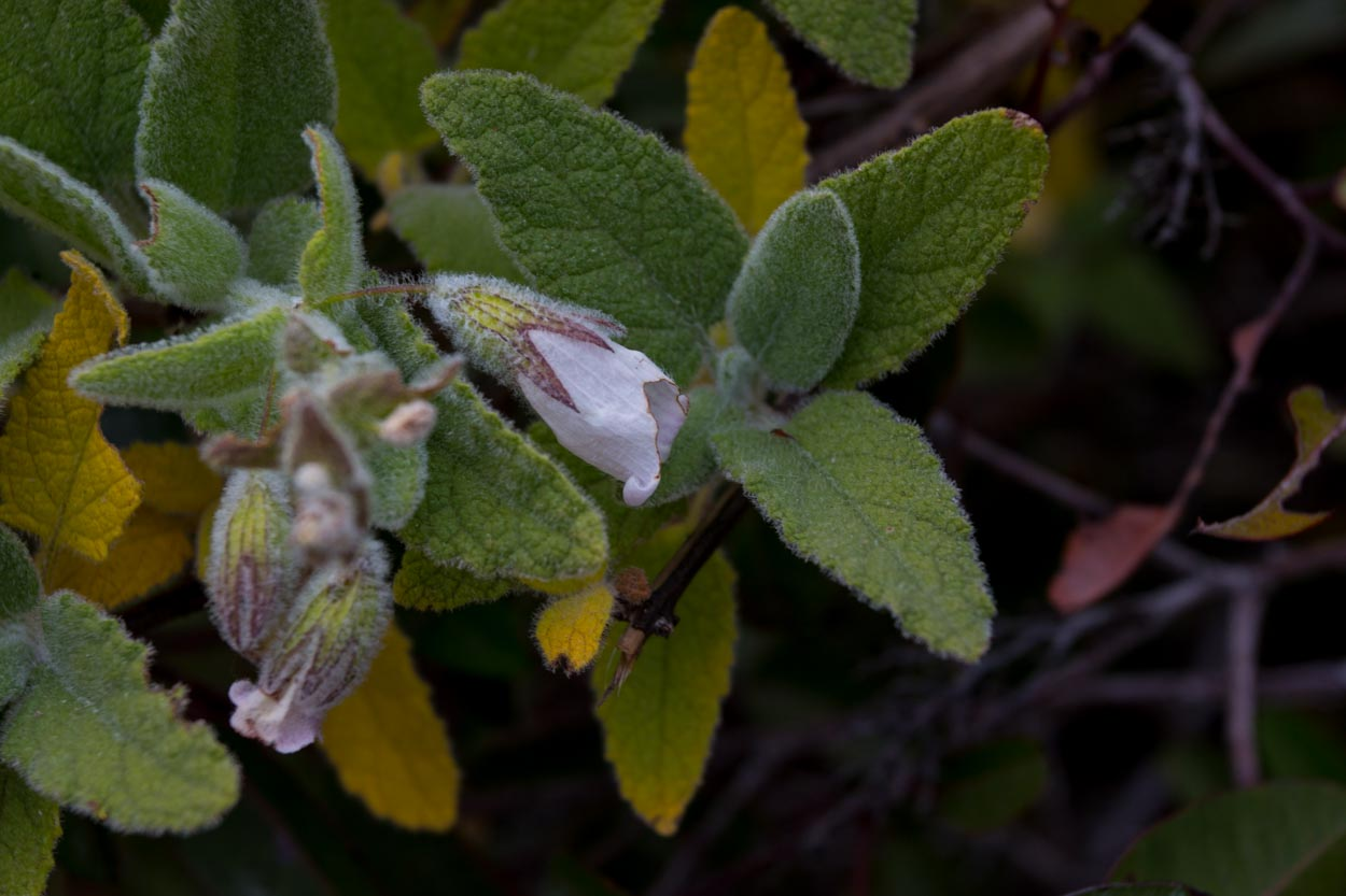 Image of Pitcher Sage - <em>Lepechinia fragrans</em>